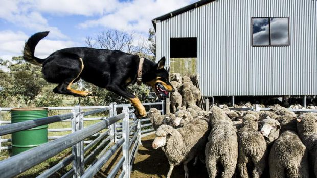 Craig Starr's kelpie, Digger, herds a mob of sheep at Gold Street Station in Hall.