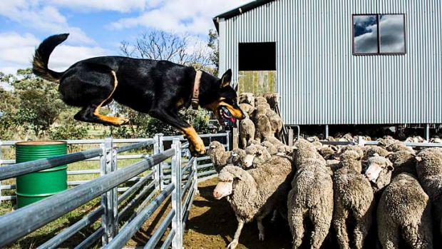 Dogged Digger: Herding a mob of sheep, Digger is hard at work at the trial but he is not competing.