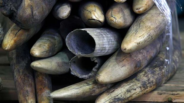 Seized: Ivory tusks are displayed after being confiscated in Hong Kong.
