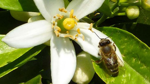 Caffeine fix: A honey bee on the flower of a citrus tree.