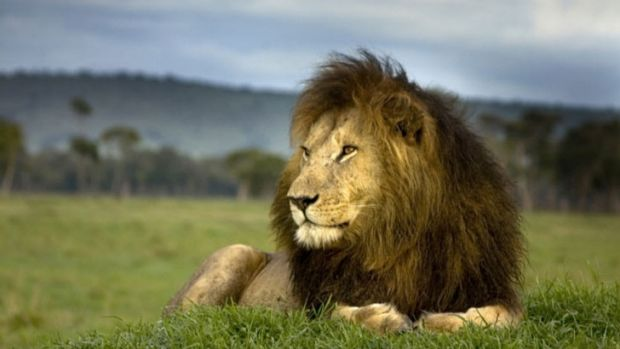 Africa's lions are on the verge of extinction.