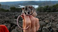 Dr Linda Broom holds a handful of Bogong moths , a favourite food of the Mountain Pygmy Possum , one of Australia's most ...