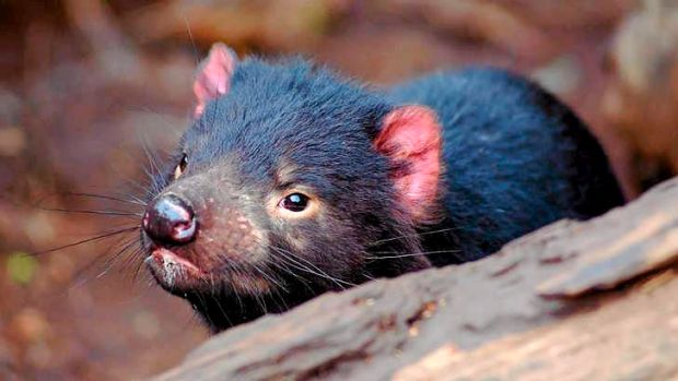 Tasmanian devils are an endangered species.