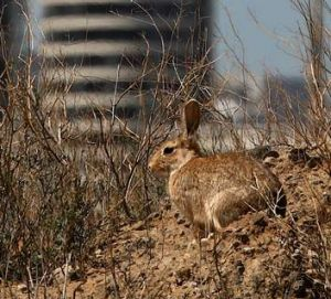 An urban rabbit (file photo).