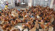 China culls chickens as flu deaths mount (Video Thumbnail)