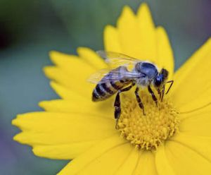 Honey bees are struggling in Canberra at the moment.