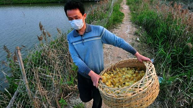 Industry impacted: A man carries a basket of newborn ducklings before he incinerates them in a stove at a duck farm in ...