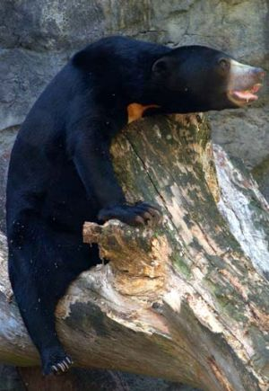 Sugar-free diet: Taronga's new sun bear, Mary.