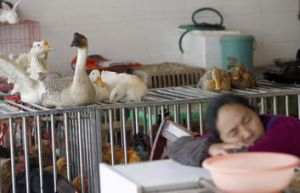 This picture taken on April 16, 2013 shows a seller sleeping next to a cage in a poultry market in Guiyang, southwest ...