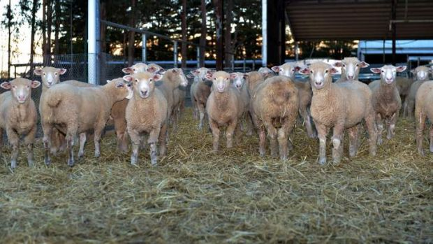 Sheep at the research farm in Hamilton.
