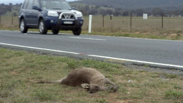 Dry weather is enticing animals to the road side, where many are being hit by vehicles.