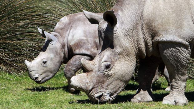 Rhinoceroses in Mozambique have been wiped out by poachers.