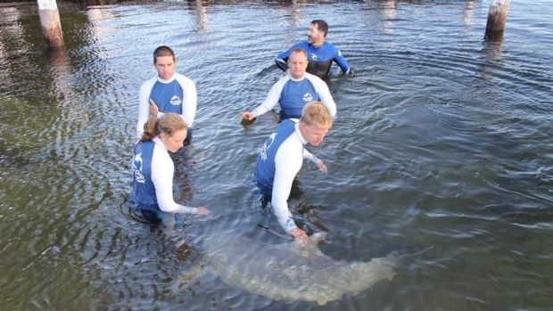 Volunteers and marine mammal specialists in the process of releasing the dolphin.