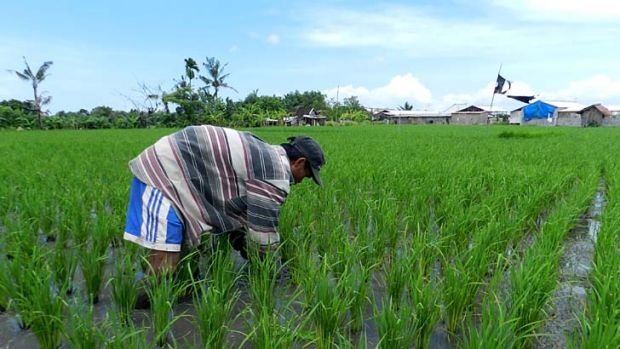 Battling: Farmer Nengah Daryana tends his rice.