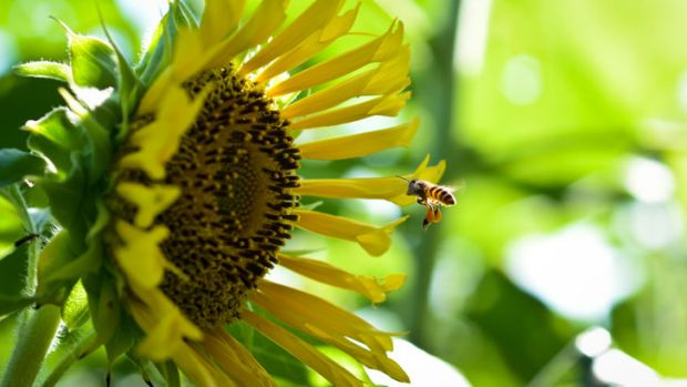 Part of the battle of the bees is finding out how they'll cope with increasing world temperatures.