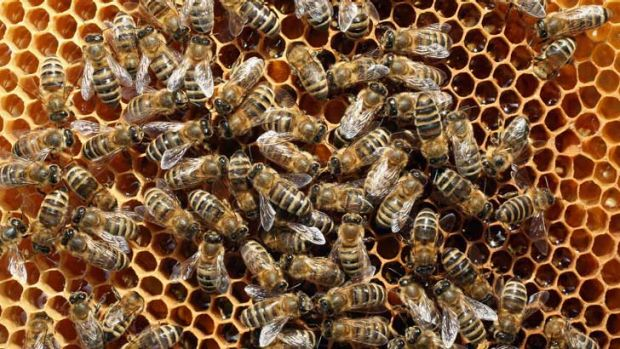Bees congregate on a honeycomb in Blankenfelde, Germany, where local beekeepers claim their yearly loss rates within ...