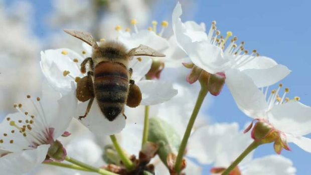A bee harvests pollen from the flowers of a wild cherry tree near Berlin. Local beekeepers are unsure whether the bee ...