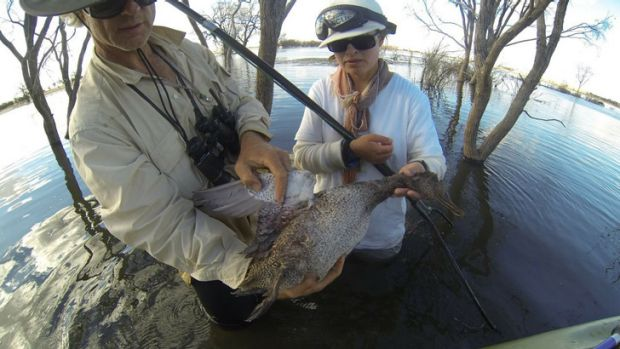 Rescuers from the Coalition Against Duck Shooting with a dead freckled duck   at Box Flat wetland a week after the March ...
