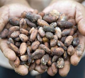 Definitely not dull: Cacao beans.
