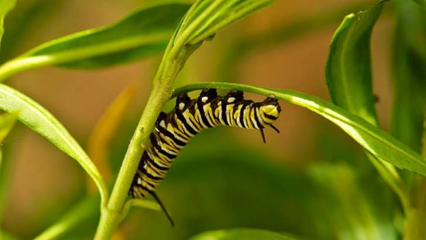 """Insects most commonly consumed by humans are beetles (31 percent), caterpillars (18 percent) and bees, wasps and ants ..."