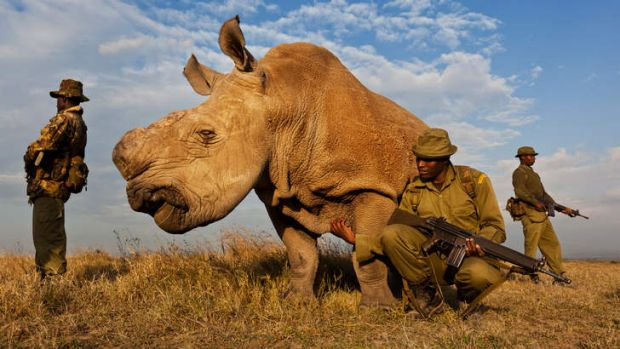 Twenty-four-hour watch: An anti-poaching team guards a de-horned northern white rhinoceros in Kenya in 2011.