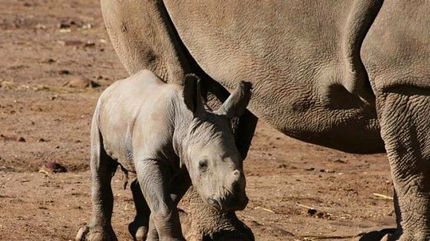 New arrival: the baby white rhino.