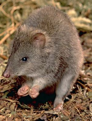A long-nosed potoroo.