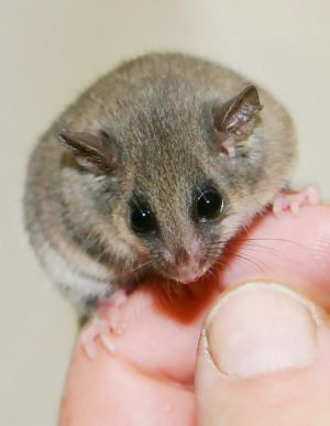 An eastern pygmy possum.