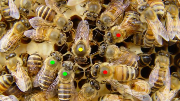 Sweet harmony: an Asian honeybee queen (yellow spot) being tended to by worker bees of two other species (red and green) ...