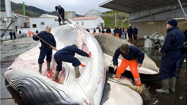 Icelandic whalers cut open a 35-tonne fin whale, caught off the coast of Hvalfjsrour, north of Reykjavik.