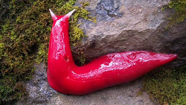 Relics: The pink slug, above, eats mould and moss.