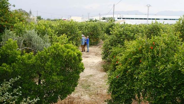 Grisly discovery: the lemon grove where Spanish police found the bodies of Ingrid Visser and her partner Lodewijk Severein.
