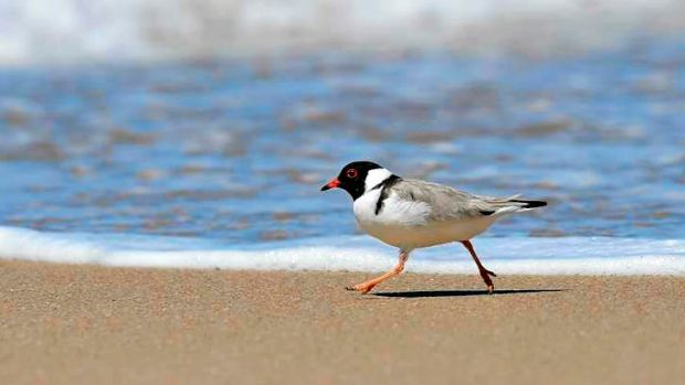 Victoria's vulnerable hooded plover represents a rare success story in a global report that paints a grim picture for ...
