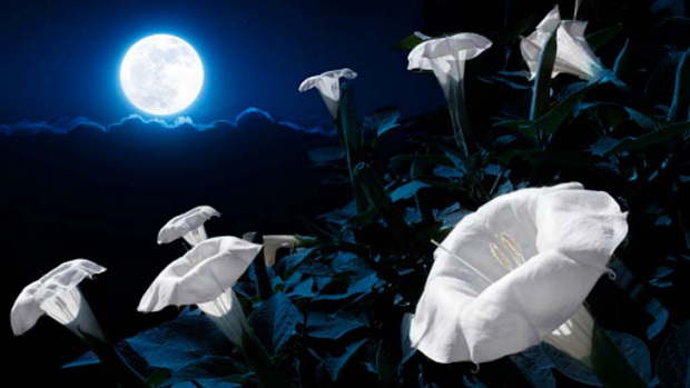MoonFlower Bush Blooms At Night With Bright Moonlight