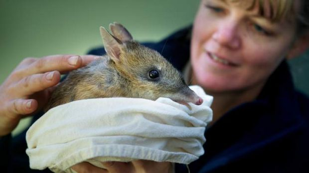 Melbourne Zoo keeper Emma King with an eastern barred bandicoot.