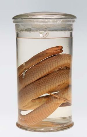 A preserved taipan.