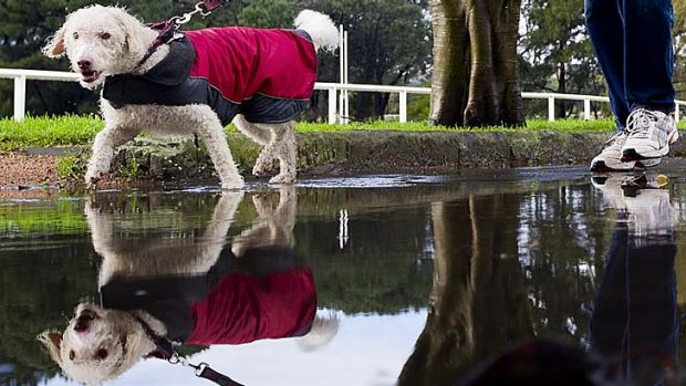 Out and about: Rain didn't put off walkers and dogs in Centennial Park.