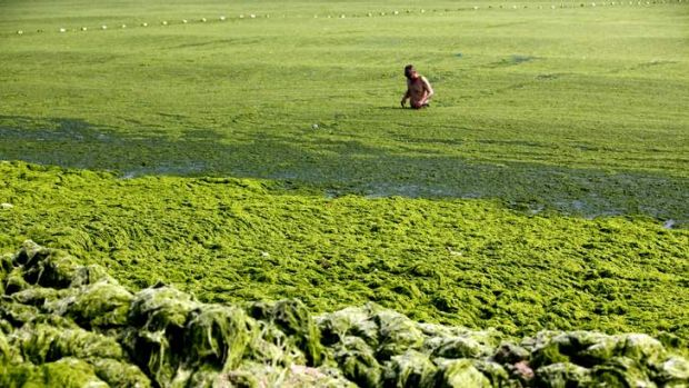 A man swims in seawater covered by a thick layer of green algae. More than 20,000 tonnes of the seaweed has been removed ...