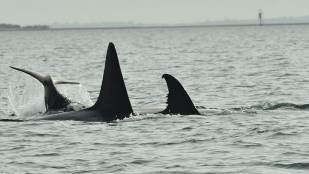 A pod of killer whales remained just off Fraser Island late Saturday, July 6.