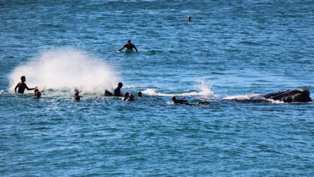 THE MOMENT OF IMPACT:  the 10-metre whale (right) moves its mighty tail near the surfers at Bondi Beach on Sunday.