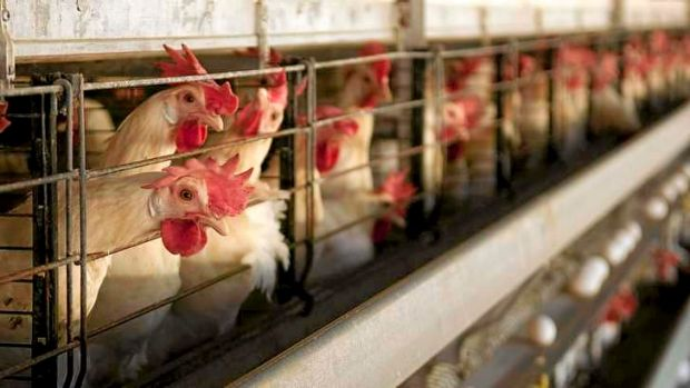 Court documents show the poultry producers' sheds were holding an average of 30,000 to 40,000 chickens, or almost 20 ...
