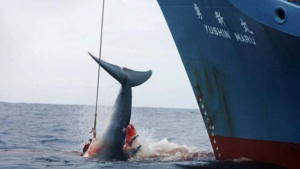 The consumption of whale: A bloody contentious issue.