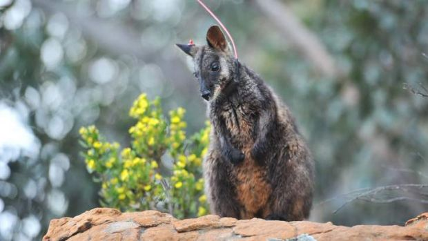 Release: The Grampians wallaby release program is on hold.