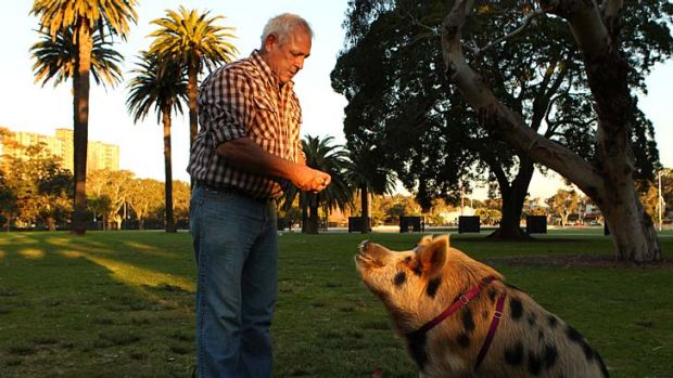 Just a walk in the park: James the city pig out and about in Redfern.