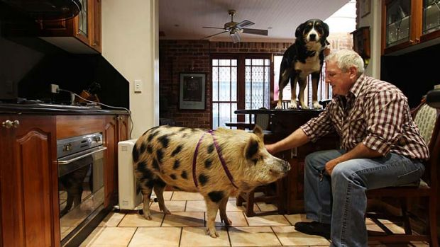 Man's best friend: James the pig has the run of the house.