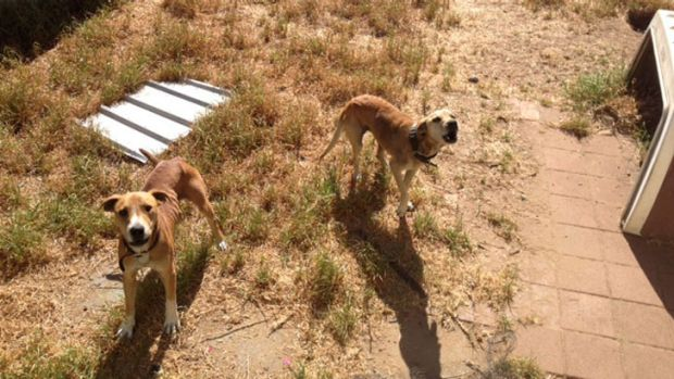 The two dogs found at the property.