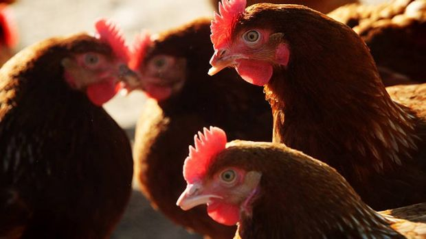 'Free range' chicken farms can now have up to 10,000 chickens per hectare.