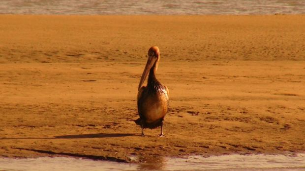 One the pelicans that came into contact with the oil spill at Brisbane's port.
