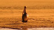 A pelican affected by an oil spill in Brisbane