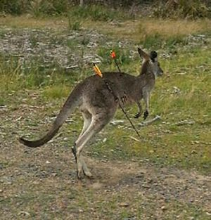 Hilary the eastern gery kangaroo after being hit by arrows at Endeavour Hills.